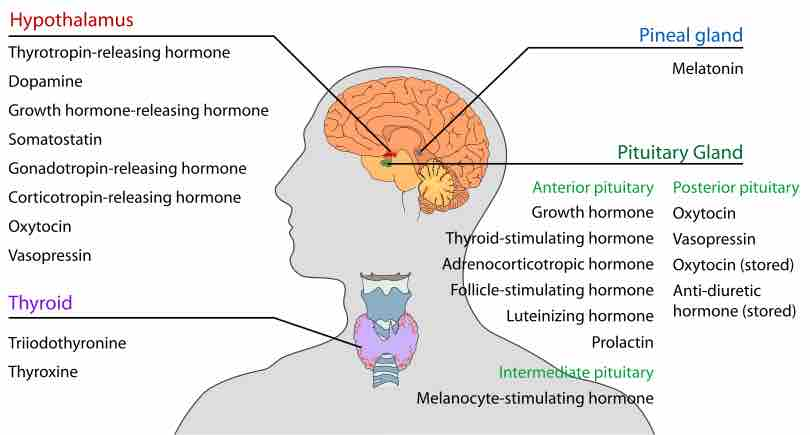 Image Endocrine Glands In The Human Head And Neck