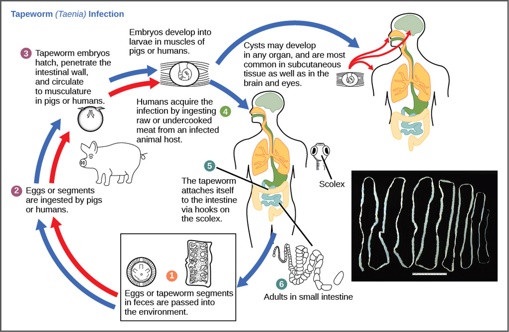 Image lifecycle of a parasitic tapeworm lifecycle of a parasitic tapeworm ccuart Gallery