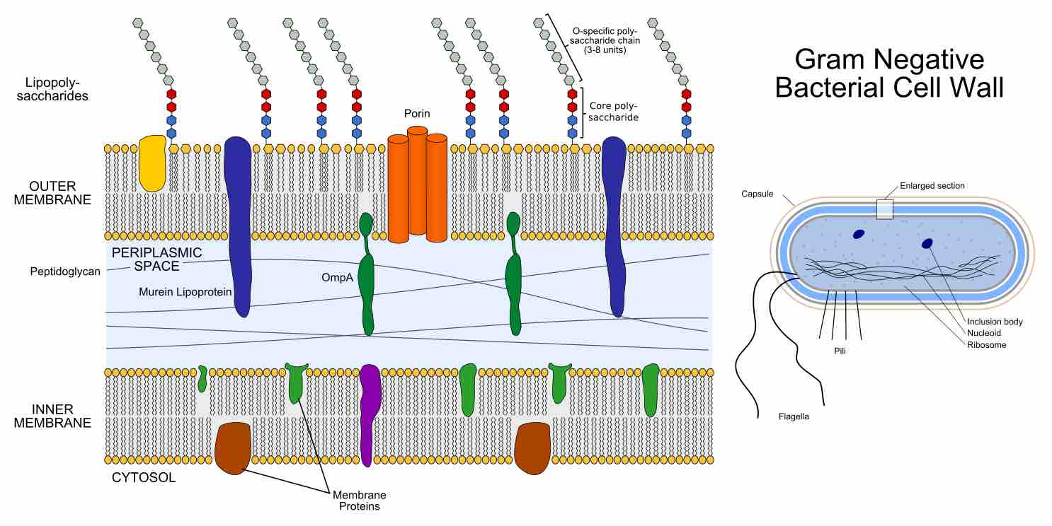 Cell Structure Of Bacteria Archaea And Eukaryotes Microbiology Eukaryotic Diagrams 7 Gram Negative Outer Membrane The