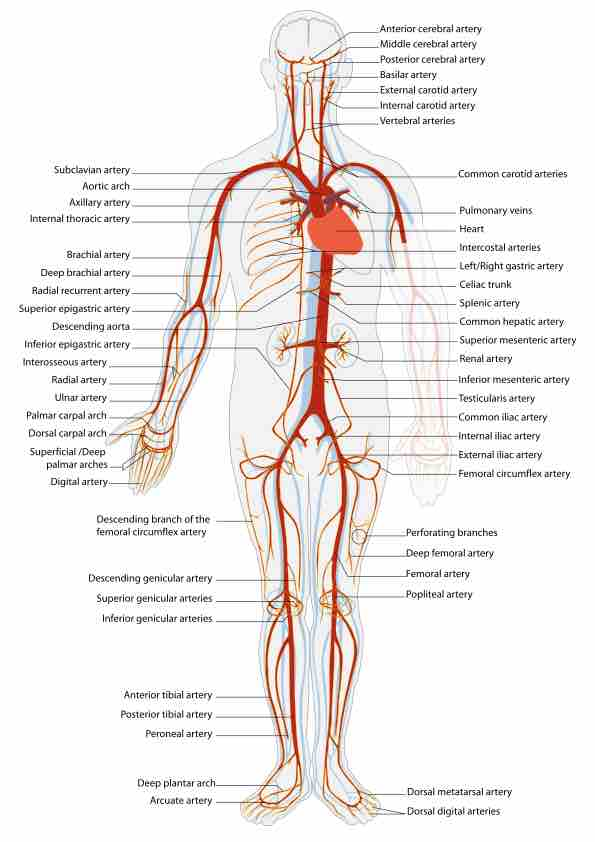 Cardiovascular System: Blood Vessels | Physiology
