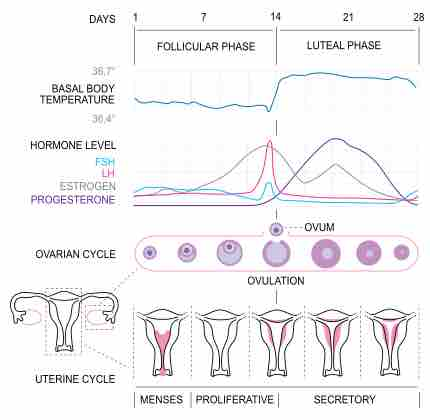 Physiology of the female reproductive system ccuart Images