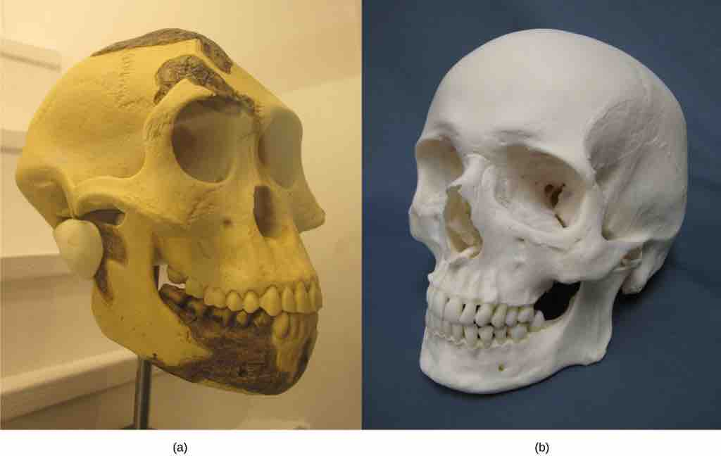 early humans vs modern humans