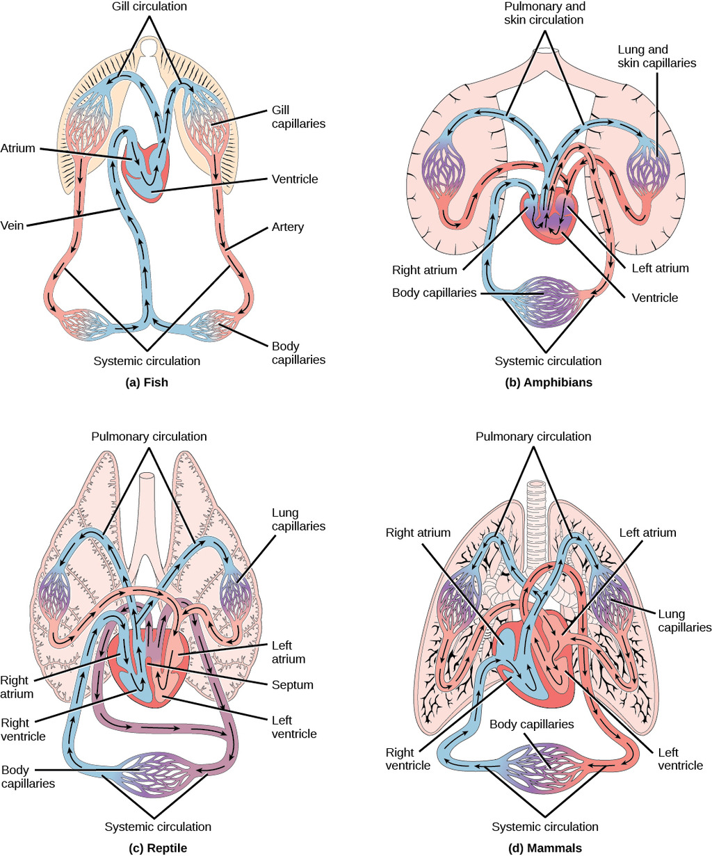 Image Examples Of Animal Circulatory Systems
