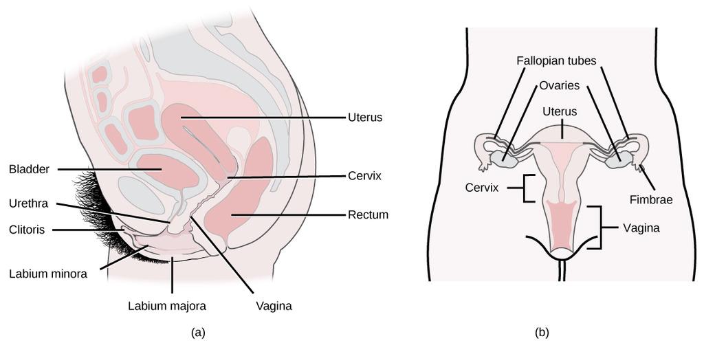 Image: Female reproductive anatomy