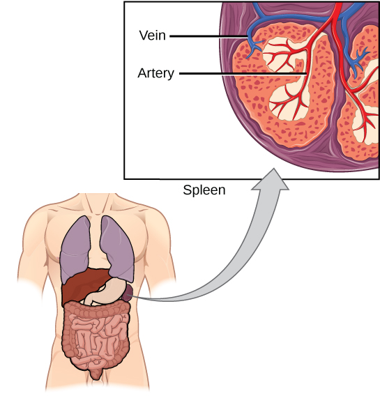 Image Spleen In The Lymphatic System