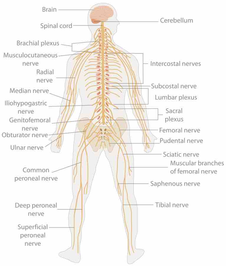 Subdivisions Of The Nervous System