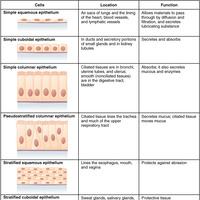 characteristics of epithelial tissue