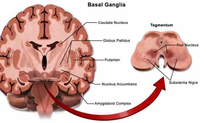 The role of the basal ganglia in movement location of the basal ganglia ccuart Image collections