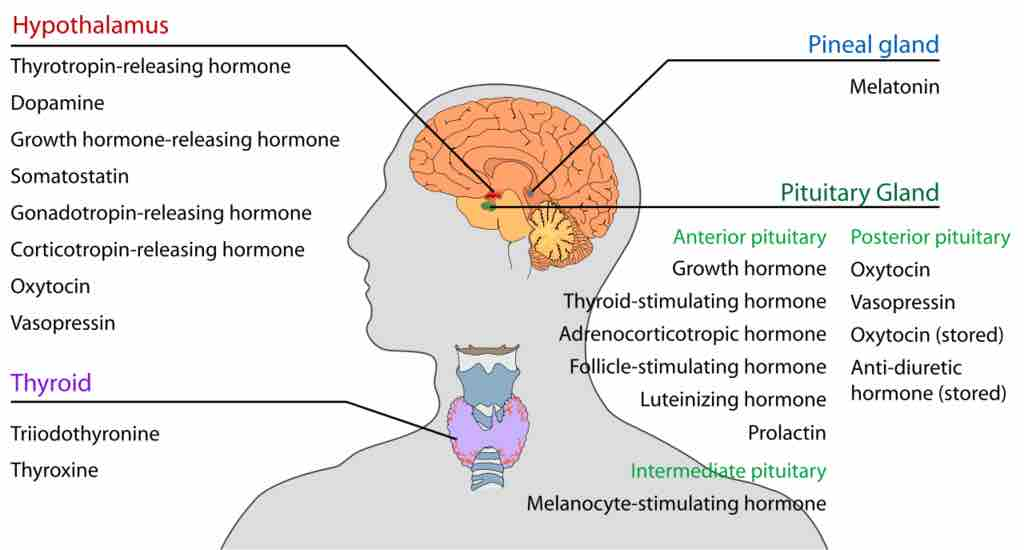 Image Endocrine Glands Of The Head And Neck