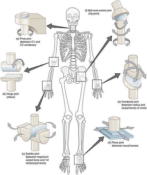 Synovial Joint Movements