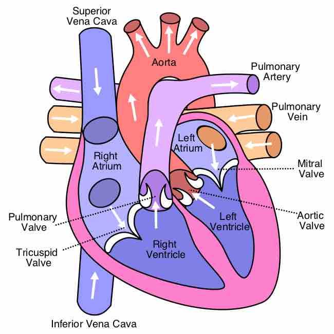 Cardiovascular System: The Heart   Physiology