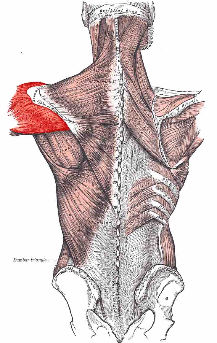 Image Location Of The Deltoid Muscles