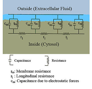 Action potential a diagram showing the resistance and capacitance across the cell membrane of an axon the ccuart Images